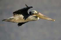 brown pelican flight