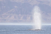 Blue Whale. Largest animal ever to exist on planet earth, a Blue Whale surfaces in the Sea of Cortez. Baja, MX.