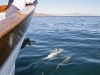 Common Dolphin. After a feeding frenzy near Isla Carmen, Common Dolphin ride the pressure wave off Ursa\'s bow.