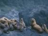 Stellar Sea Lion colony at the mouth of Lituya Bay, Glacier Bay National Park, AK.