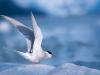 Arctic Tern stretches its wings near South Sawyer Glacier, Tracy Arm, Southeast Alaska.