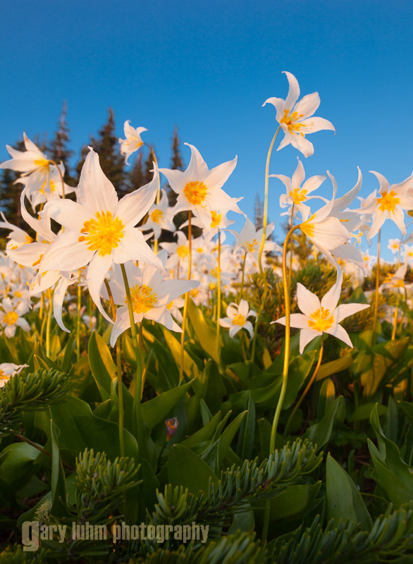 Avalanche Lilies (Erythronium montanum). Olympic National Park.