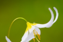 Avalanche Lily, Mt. Rainier National Park, Washington State.