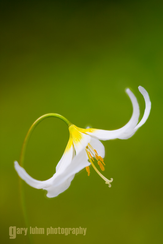 Avalanche Lily, Mt. Rainier National Park, Washington State.