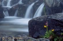 Shooting Star and Monkey flower, Mt. Rainier.