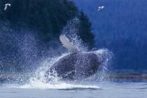 Humpback Whale. Breaching humpback whale near Tenakee Springs, Chichagof Island, Alaska.