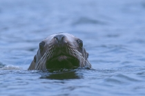 Stellar Sea Lion. Close approach of a Stellar Sea Lion, letting me know this is his fishing ground, Petersburg, AK.
