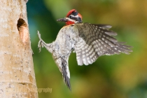 North America, Canada, British Columbia,Red-naped Sapsucker, male, food, flight,nest.