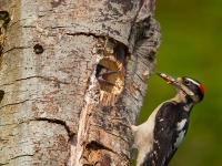 Male Hairy Woodpecker delivering food to chicks at nest. Marymoor Park, Redmond, WA.