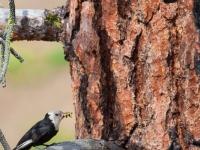 Female White-headed Woodpecker pauses before nest in Ponderosa Pine snag. Leavenworth, WA.