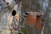 Male adult Northern Flicker (Colaptes auratus) flies from nest with fecal sac. British Columbia, Canada.