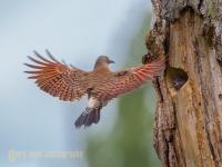 Male Northern Flicker flies to nest in Kirkland, WA.