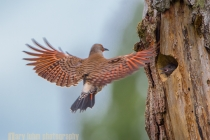 Male Northern Flicker flies to nest in Kirkland, WA.