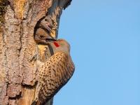 Male Northern Flicker regurgitate food at nest in Kirkland, WA.