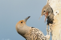 Nothern Flicker