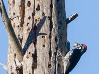Male Acorn Woodpecker arranges acorns at a grainary.