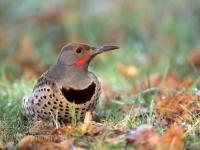 Ground-feeding male Northern Flicker.