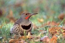 Ground-feeding male Northern Flicker.
