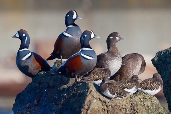 The single image resulting from the search. Harlequin Duck and Black Turnstones.