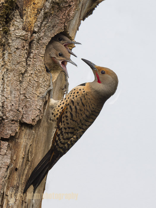 Male Northern Flicker feeding young at nest hole Canon 5D III, 500mm f/4L x1.4x, f/8, 1/1250sec, iso800.