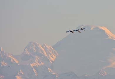 Trumpeter Swans with Mt. Baker backdrop, 500mm f/4, 40D