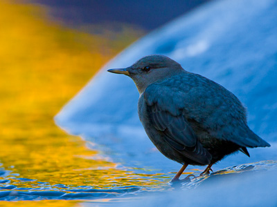 American Dipper in Gold and Blue Eagle Creek, Columbia Gorge, Oregon. Canon 40D, 500mm f/4, 1.4x, ISO400, f/5.6, 1/400 sec.