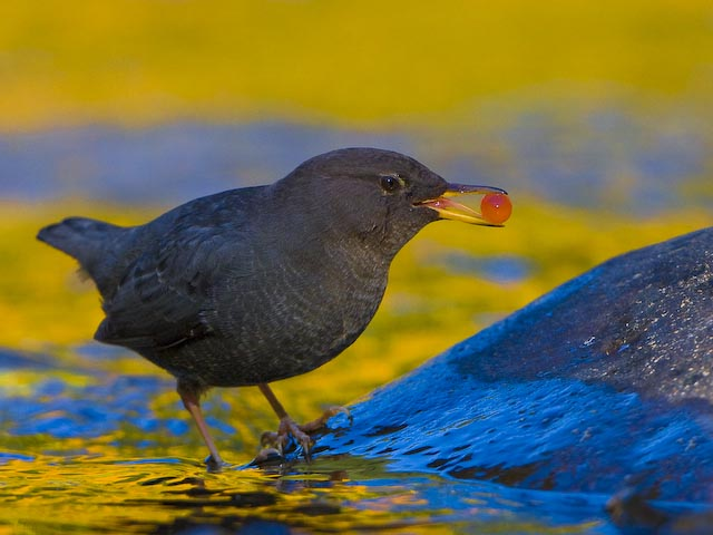 American Dipper with Salmon Egg Eagle Creek, Columbia Gorge, Oregon. Canon 40D, 500mm f/4 @ f5.6, ISO400, 1/800 sec.
