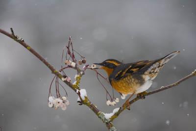 Varied Thrush and Mountain Ash Canon 40D, 500mm f/4, 1.4x, ISO400, f/5.6, 1/500 sec.