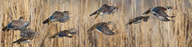 Three pair of Wood Ducks. The number three is a stronger bet. Go with it when you have the choice.