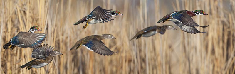 Four pair of Wood Ducks, assembled in Photoshop from a single pair liftoff. Generally, four is not a strong number.