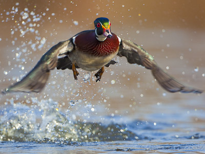Wood Duck takes flight off a pond in Seattle, WA.