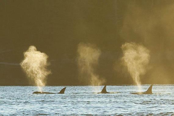 Orca in Chhristie Channel adjacent God's Pocket Resort.