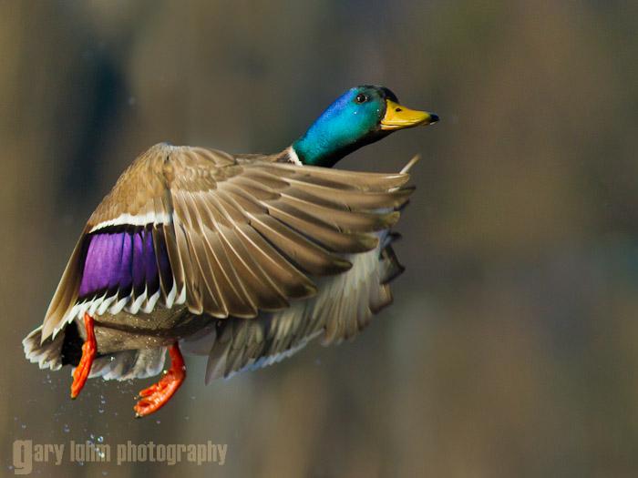 Mallard duck at lift off Canon 7D, 300mm f/4L, f/5.0, 1/2500sec, iso320.