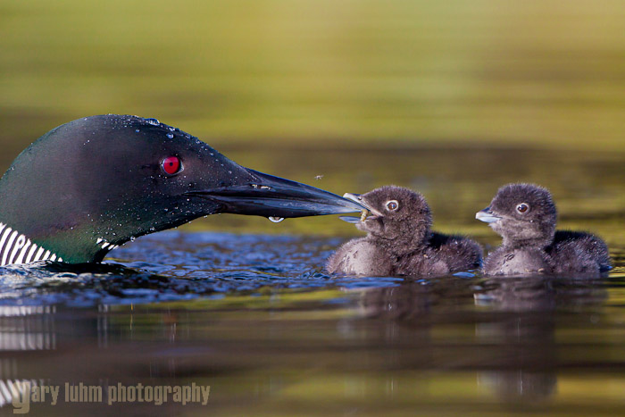 A Common Loon feeds a day old chick, Lac Le Jeune, BC, Canada Canon 5D II, 500mm f/4L @f/6.3, 1/2000sec, iso400.