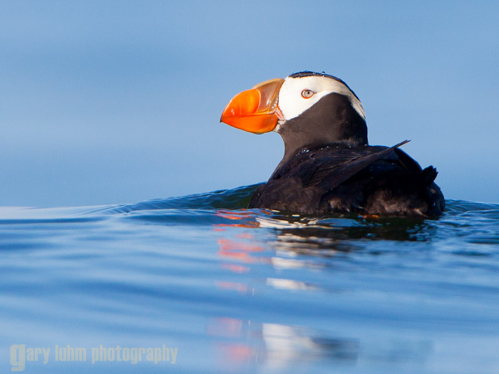 Tufted Puffin in Ocean Swell Canon 5D II, 500mm f/4L @f/5.6, 1/2500sec, iso400.