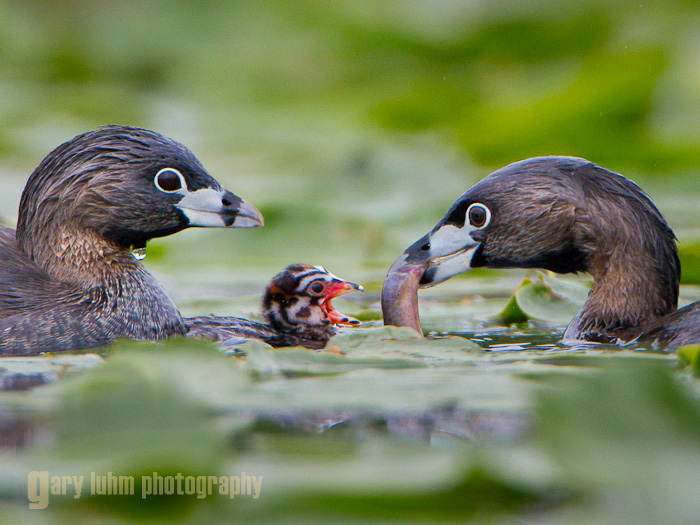 A Pied-billed Grebe pair feeds a two-day old chick, Union Bay, Lake Washington, WA Canon 7D, 500mm f/4L @f/7.1, 1/1000sec, iso640.
