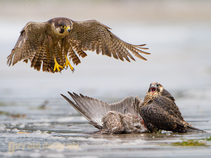 Peregrine Falcon Feed, Adult and Juvenile, Shi-Shi Beach, Olympic National Park Canon 5D II, 500mm f/4, @f/5.6, 1/2500sec, iso400.