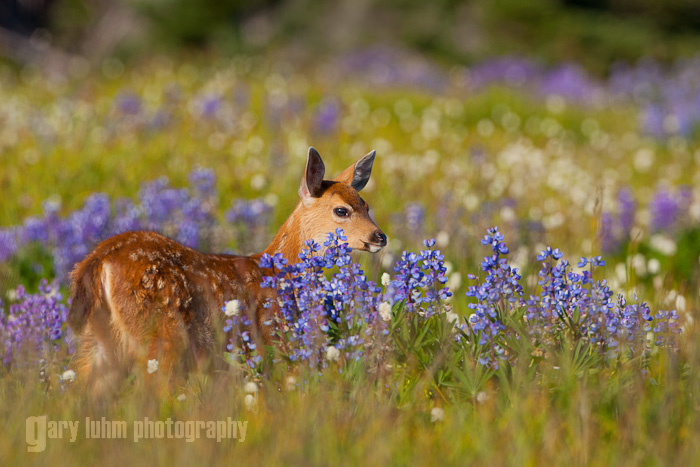 Fawn and Flowers, Hurricane Ridge, Olympic National Park Canon 5D II, 500mm f/4, @f/8, 1/1000sec, iso400.