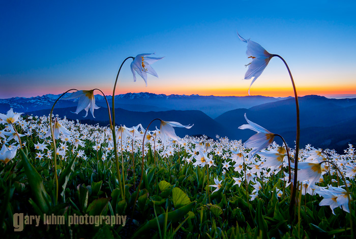 Avalanche Lily Sunset, Obstruction Point Road, Olympic National Park Canon 5D II, 17-40mm f/4L @ 17mm, @f/16, 2sec and .5sec, iso400.