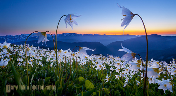 Avalanche Lilies, Olympic National Park