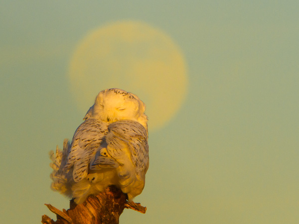 In-camera shot of snoozing Snowy Owl with faint moon behind. Canon 7D, 500mm f/4 @f/25, 1.4x,  1/125sec, iso640.