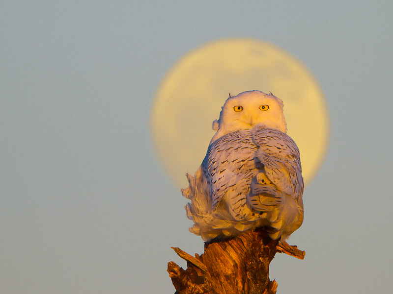Photoshop version of Snowy Owl with full moon, from two separate images. Magic Wand tool made the selecting the sky and replacing it quick and easy. Both images same exposure: Canon 7D, 500mm f/4L @f/6.3, 1.4x,  1/250sec, iso320.