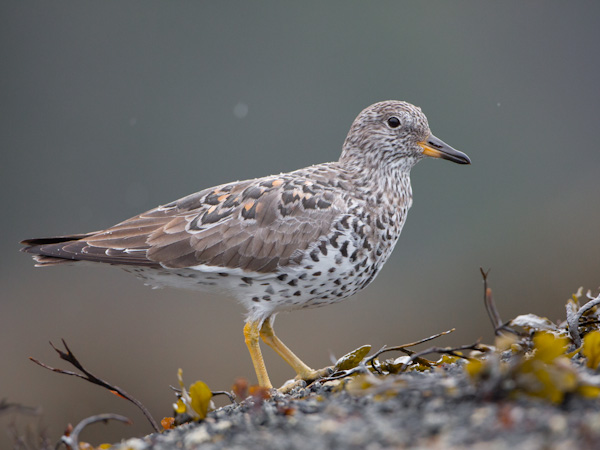 Surfbird from a kayak, at eye level. Canon 5D III, 500mm f/4L @f/5.6, 1/2000sec, iso1600, subject distance: 18 ft.