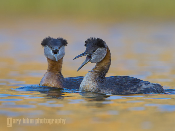 Red-necked Grebes from the kayak. Great bokeh, a lovely wash of out-of-focus color. Canon 5D III, 500mm f/4L @f/8, 1.4x, 1/640sec, iso800, subject distance: 67 ft.