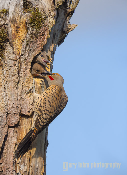 Image 6. Male Flicker at the nesthole, after branch removal and dust spotting using the Lightroom 4 Spot Removal tool (plus prior adjustments).