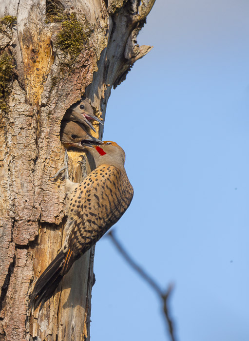 Image 1. Male Flicker at the nesthole, w/image improvement by warming, saturation, shadow detail, blue luminance and crop to 3:4 ratio in Lightroom 4. Note the two dust spots, distrating branch.