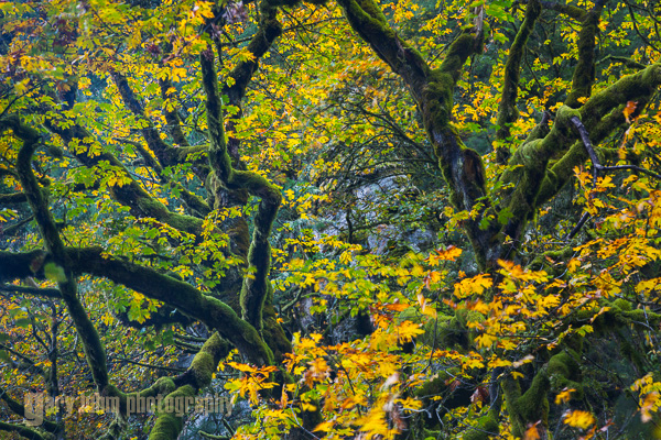 It shouldn't all be about waterfalls. This view looks up at Bigleaf Maple. Backlighting and a polarizing filter enhance a study of color and line. Tanner Creek, Columbia River Gorge, Oregon. Canon 5D III, 24-105mm f/4L @95mm, f/11,   2sec, iso100.