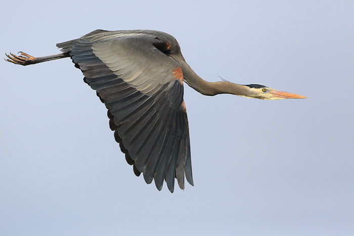 Great Blue Heron. Perfectly clean at ISO 800. Canon 5D III, 500mm f/4L @f/5.6,   1/8000sec, iso800.