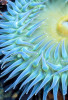 Polarizing filter cuts through reflected glare to reveal this tidepool Giant Green Anemone