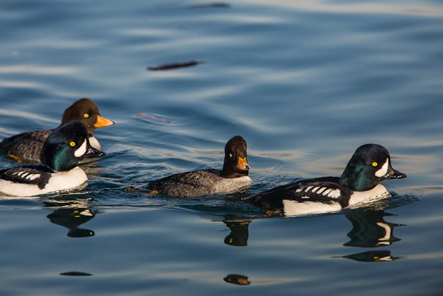 Barrow's Goldeneye. Nice image. Great light. Why didn't the photographer get down to eye level?